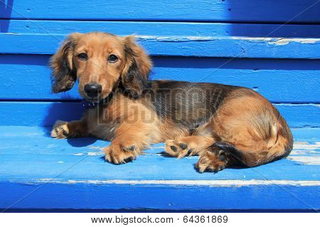 Longhair Dachshund puppy on weathered blue background. Also available in vertical.