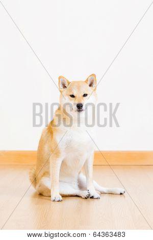 Shiba inu dog sitting on floor