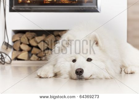 Samoyed Dog  By Fireplace