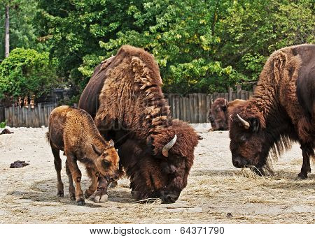 Bison With Calf