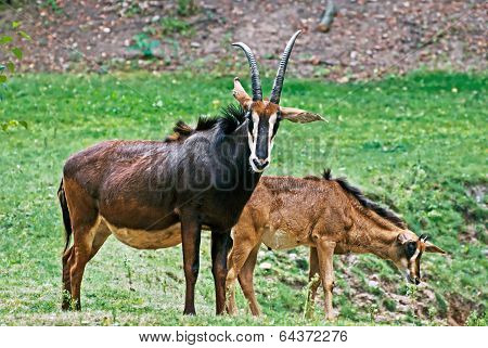 The Sable Antelope (hippotragus Niger)