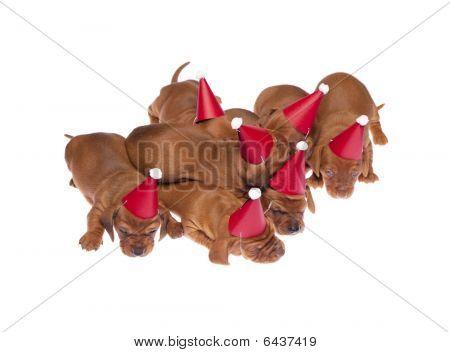 Dachshund Puppies 014