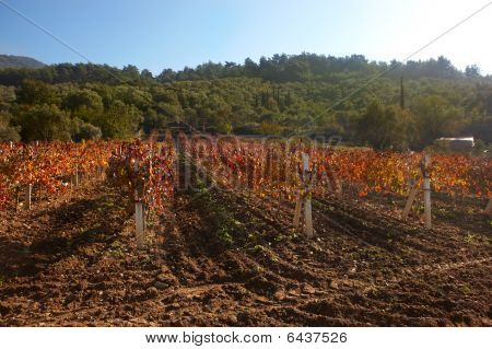 Rural Autumn Vineyard