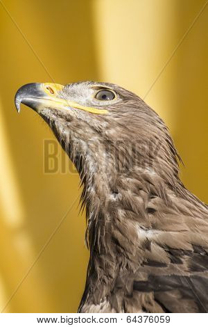 eye, golden eagle, detail of head with large eyes, pointed beak