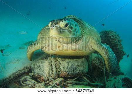 Environmental problem: Sea Turtle rests on underwater rubbish dump with old tyres and other garbage
