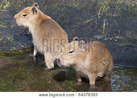 Two Adults Capybara (hydrochoerus Hydrochaeris)