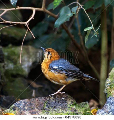 Orange Headed Thrush (zoothera Citrina)