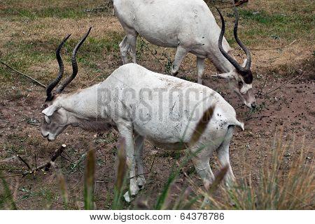 Addax Nasomaculatus Antelope