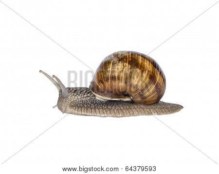 Burgundy snail, isolated