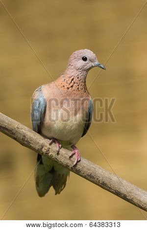Laughing Dove (stretopelia Senegalensis) With Facial Molting
