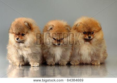three pomeranian puppies