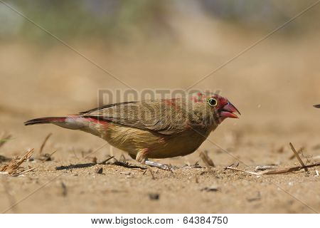 Young Red-billed Firefinch Searching For Seed In The Sand