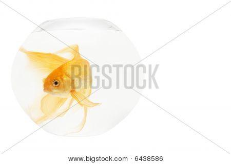 Um peixe dourado em aquário