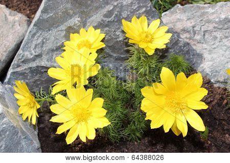 Flower Adonis