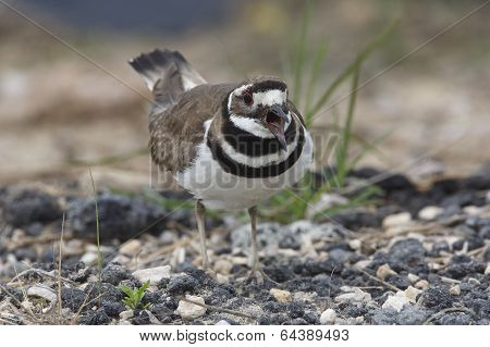 Killdeer Calling To Defend Its Terrritory