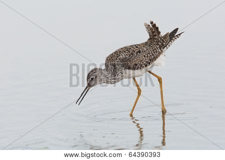 Lesser Yellowlegs Foraging In Shallow Water