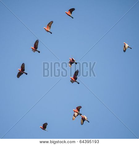 Flock Of Australian Galahs Flying