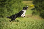 stock photo of collie  - Border Collie jumping and catching frisbee outdoors - JPG