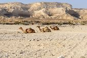 stock photo of dromedaries  - Sitting dromedaries in canyon of Wadi Ash Shuwaymiyyah  - JPG