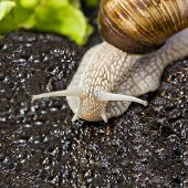 foto of hermaphrodite  - Burgundy snail in a garden after rain