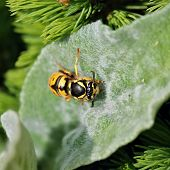 foto of hornet  - Hornet on green leaf on the morning - JPG