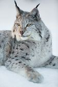 picture of apex  - Eurasian lynx laying in the snow and rests - JPG