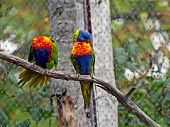 stock photo of lorikeets  - Picture of Rainbow Lorikeet  - JPG