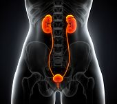 stock photo of bladder  - Illustration of Human Female Kidney Anatomy - JPG