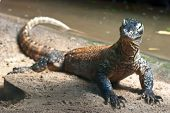 picture of giant lizard  - Portrait of Komodo Dragon  - JPG