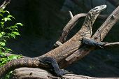 stock photo of komodo dragon  - Komodo dragon  - JPG