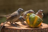 picture of babbler  - A Brown Babbler family - JPG