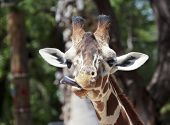 stock photo of sticking out tongue  - A Zoo Giraffe Sticks Out its Very Long Tongue - JPG