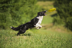 stock photo of frisbee  - Border Collie jumping and catching frisbee outdoors - JPG
