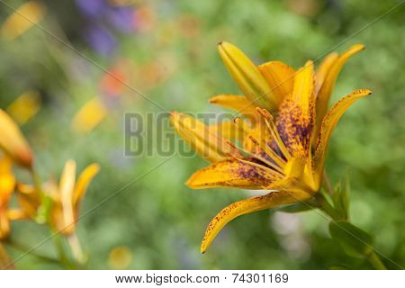 The orange  lily on garden