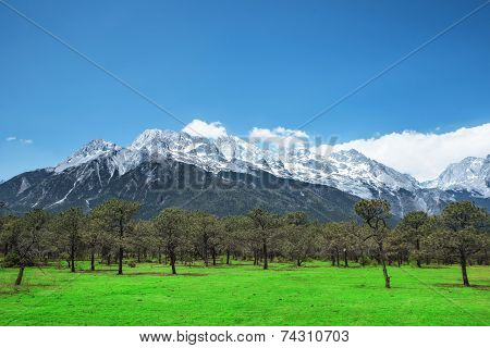 Pine Forest And Jade Dragon Snow Mountain, Lijiang, Yunnan China.