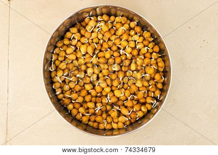 Sprouted chickpeas kept in a container on an isolated background