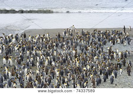 King Penguin (Aptenodytes patagonicus) colony