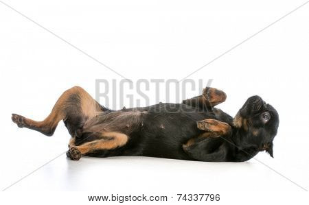 brussels griffon puppy laying on back isolated on white background