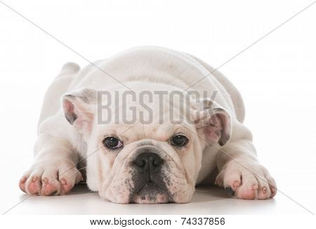 tired english bulldog puppy laying down stretched out on white background