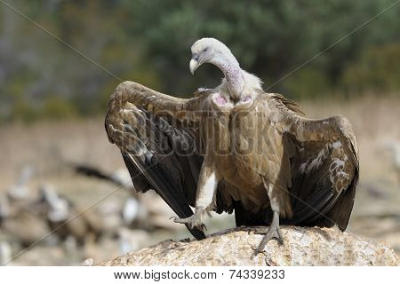 Griffon vulture standing on a rock
