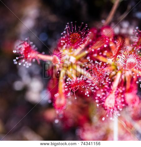 Sundew (drosera Rotundifolia) On Plateau Of Roraima Tepui - Venezuela, South America
