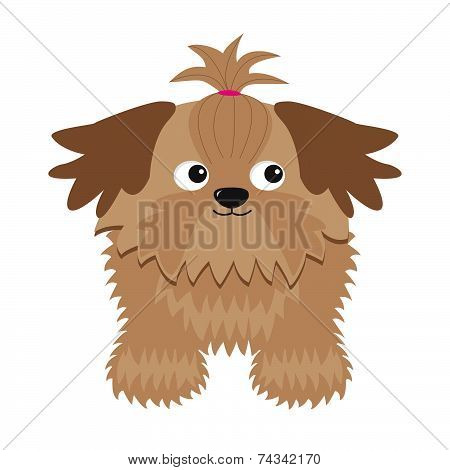 Little Glamour Tan Shih Tzu Dog. Isolated.