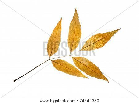 Isolated Autumn European Ash Leaf