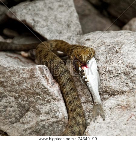 Wild snake eating fish