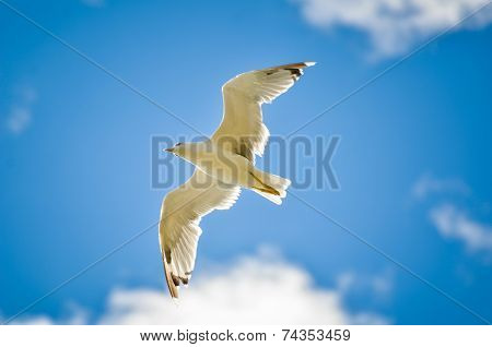 Seagull Is Flying And Soaring In The Blue Sky