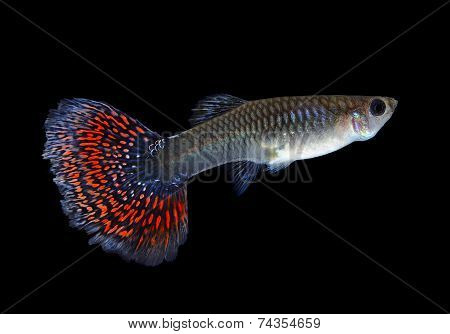 Beautiful Female Guppy  Isolated On Black Background