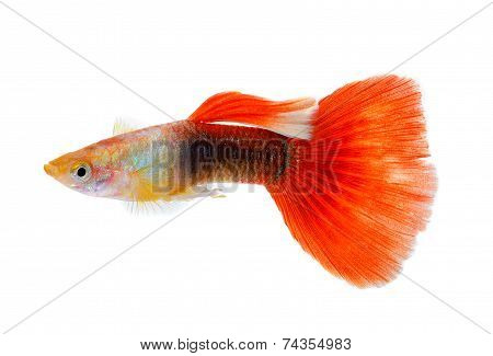 Guppy Fish Isolated On White Background
