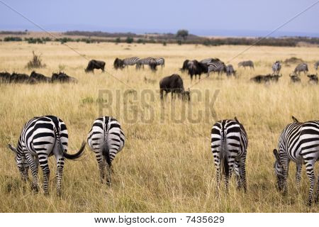 Grasende zebras