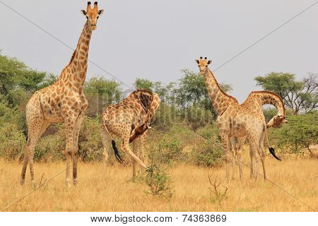 Giraffe - African Wildlife Background -