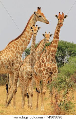 Giraffe - African Wildlife Background - Symmetry Stare